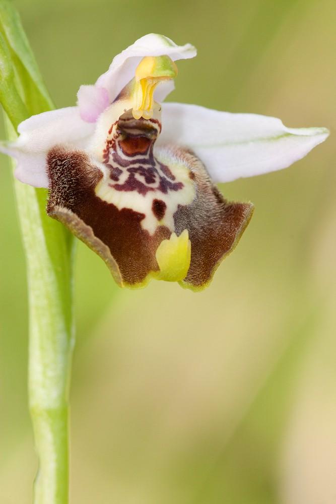 Des orchidées de Gargano, Tarento et Lecce _mg_1310