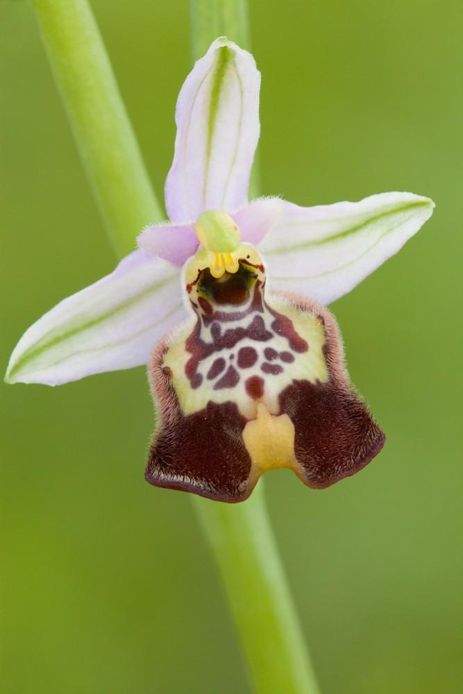 Des orchidées de Gargano, Tarento et Lecce _mg_1311