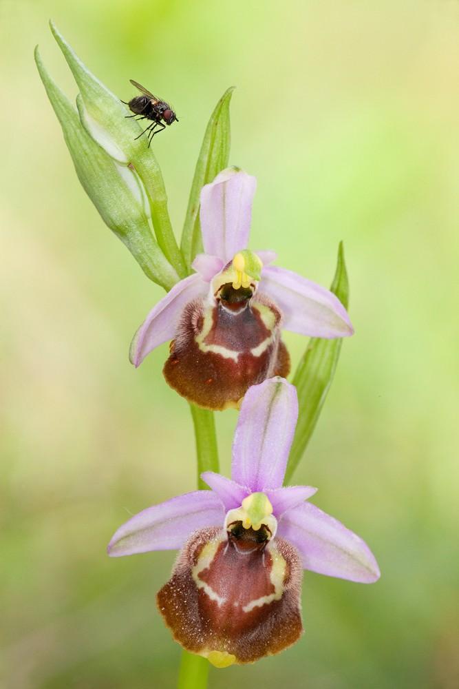 Des orchidées de Gargano, Tarento et Lecce _mg_1312