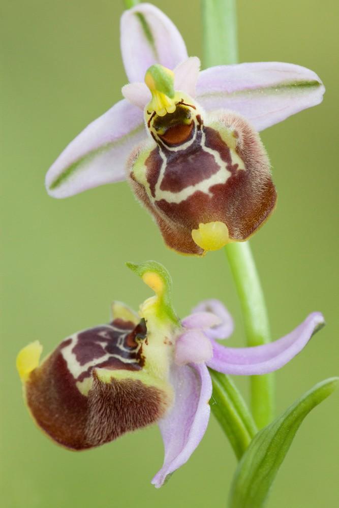 Des orchidées de Gargano, Tarento et Lecce _mg_1313