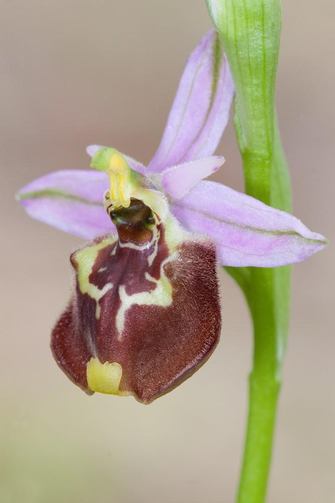Des orchidées de Gargano, Tarento et Lecce _mg_1410