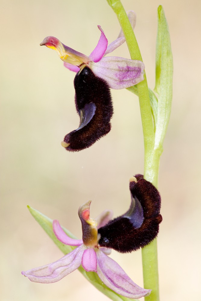 Des orchidées de Gargano, Tarento et Lecce _mg_1510