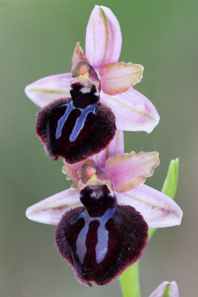 Des orchidées de Gargano, Tarento et Lecce Sipote10