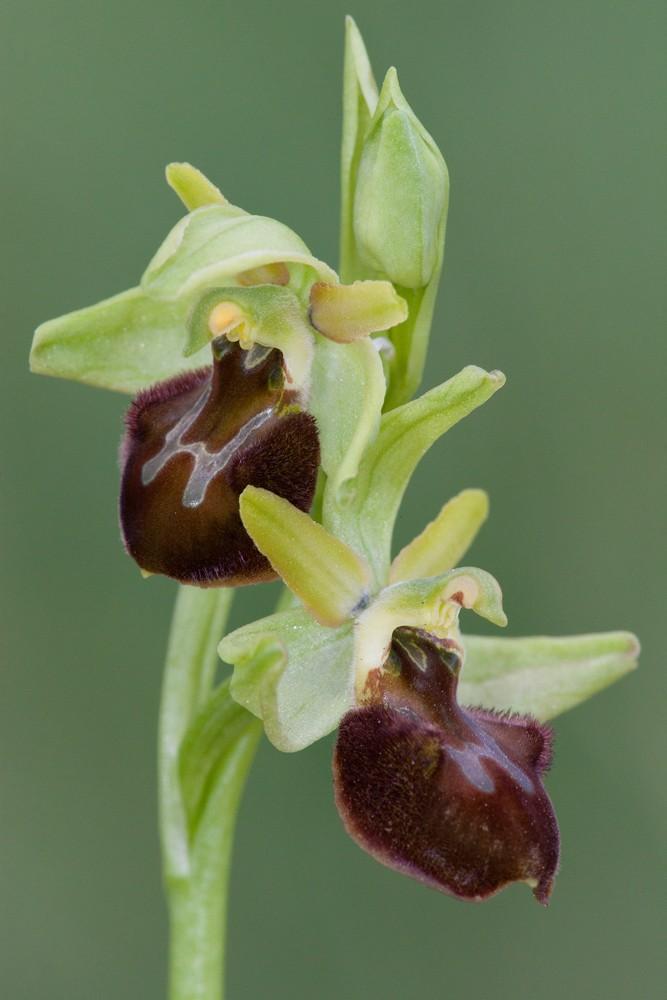 Des orchidées de Gargano, Tarento et Lecce Sphego10