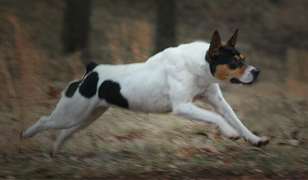 Decker & Rat Terrier Chat