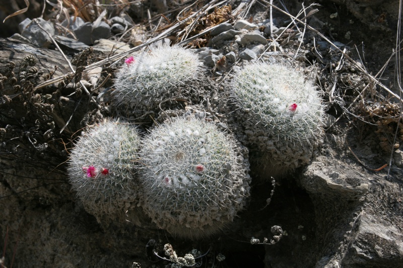 Confirmation Mammillaria gemnispina from Tolantongo, Hidalgo Img_5611