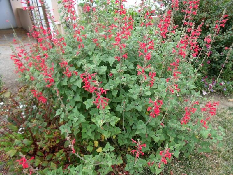 Quiz rose - Salvia involucrata et collection Dscf0410