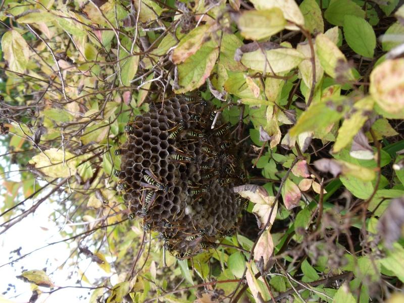 un nid de guèpes Dscf0423