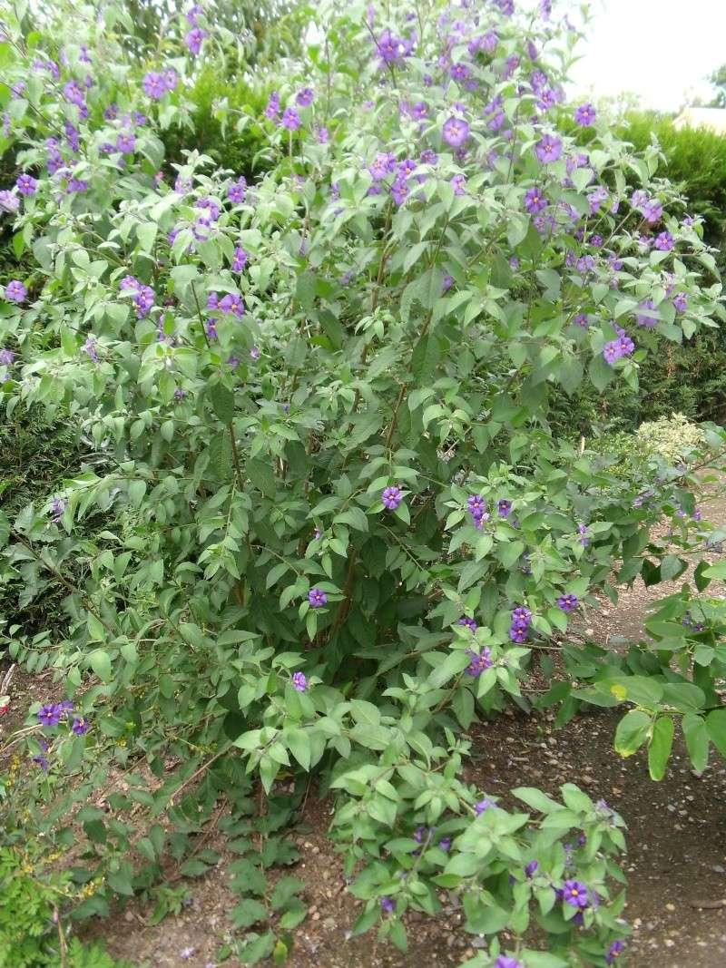 Les Solanums Dscf0516
