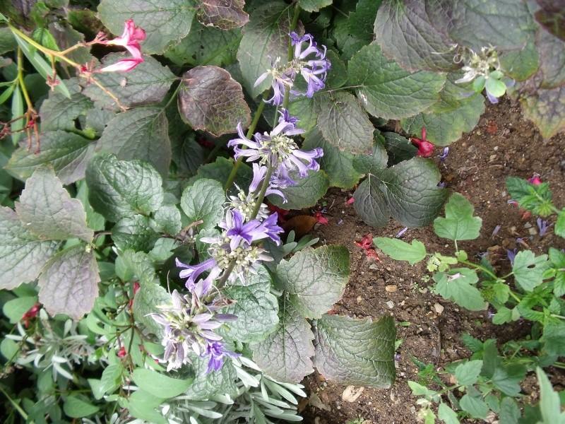 clematis heracleifolia Dscf0527