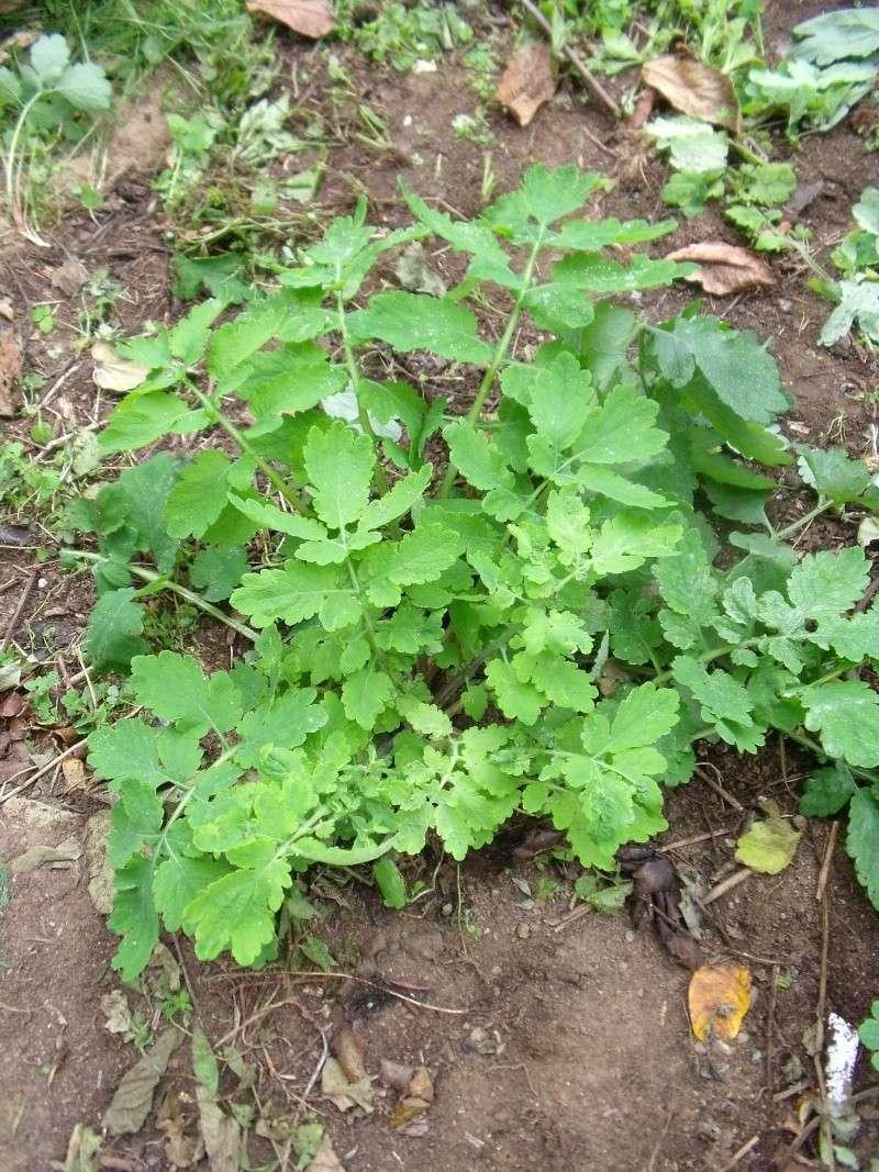 chélidoine ou herbe a verrues Dscf0610