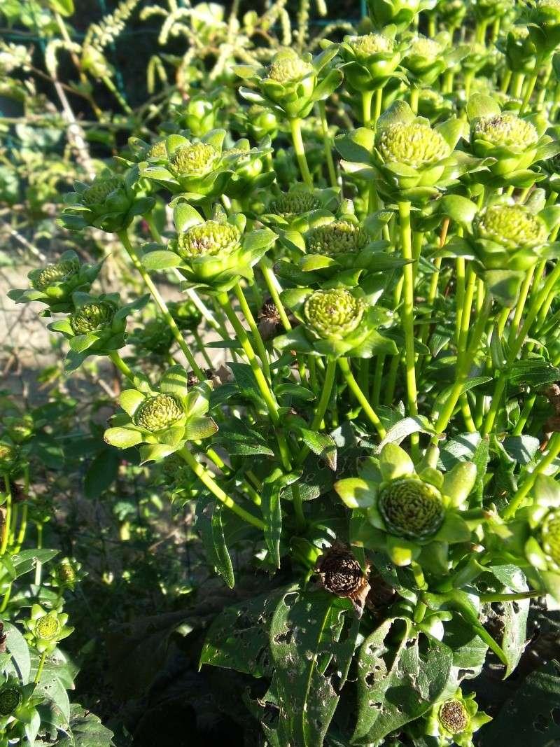 Une colle posée par un ami [Silphium perfoliatum] Dscf0611
