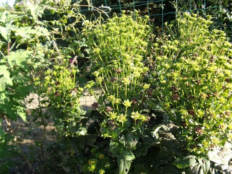 Une colle posée par un ami [Silphium perfoliatum] Dscf0612