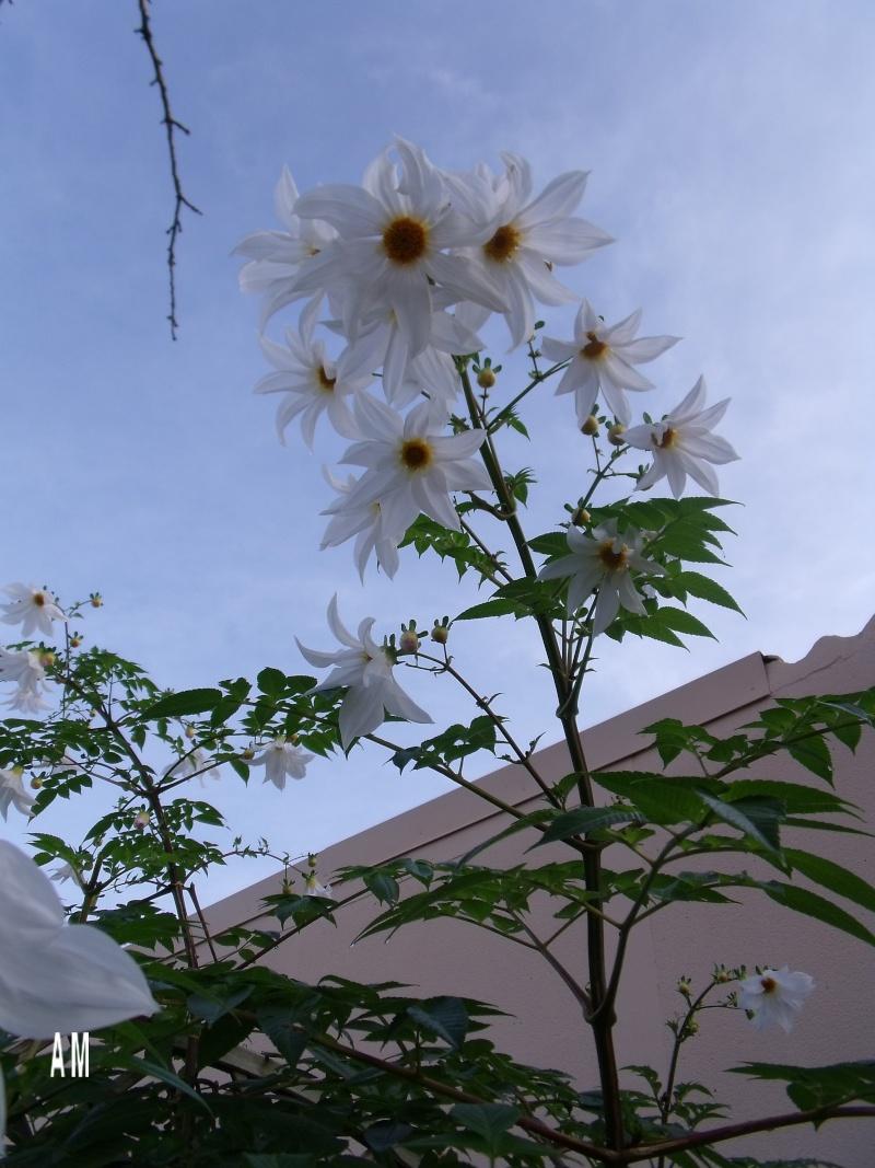 Les Dahlias arborea Dscf0618
