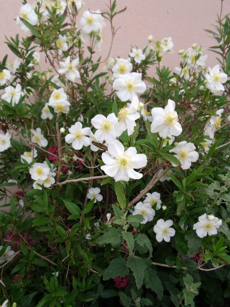 Quelques arbustes a floraison printanière Dscf0729