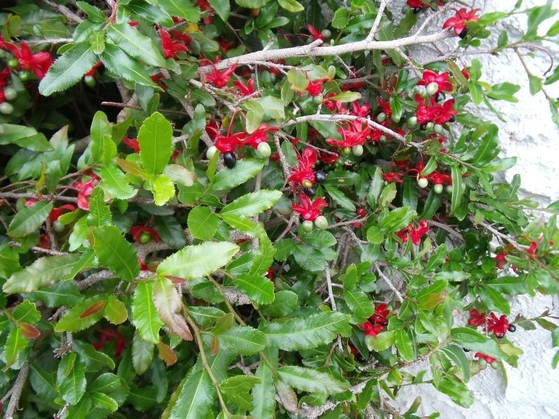 Ochna serrulta, la plante aux fruits marrants Dscf0815