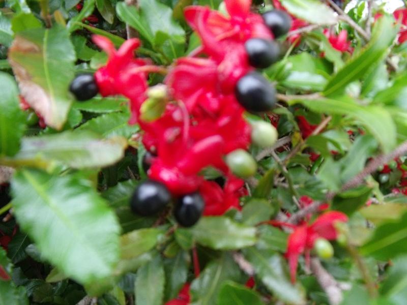 Ochna serrulta, la plante aux fruits marrants Dscf0816