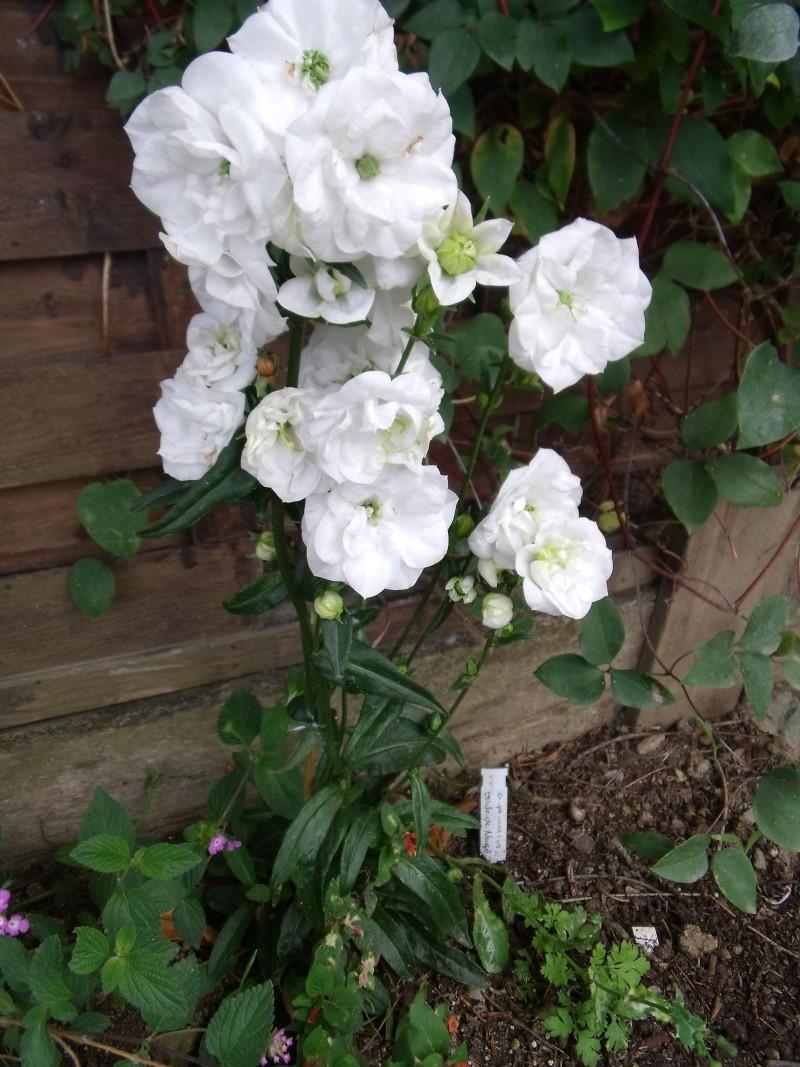 campanula persicifolia Dscf0830