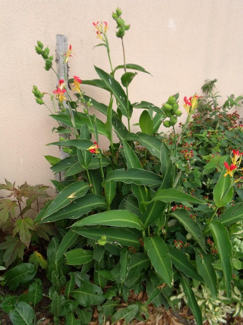 Un canna a petites fleurs Dscf0912