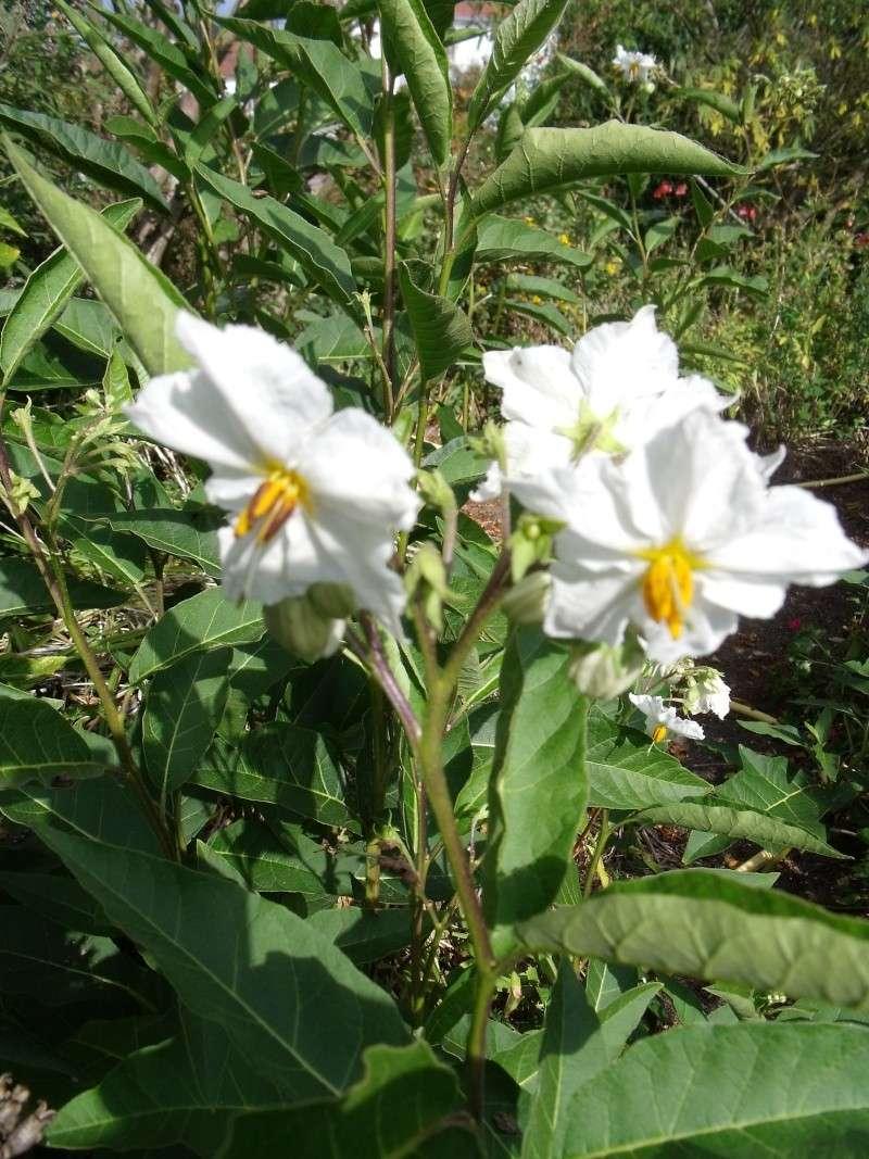 Les Solanums Fl_gra10