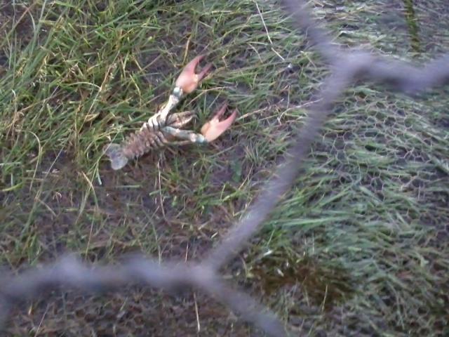 crayfish problems 20121010