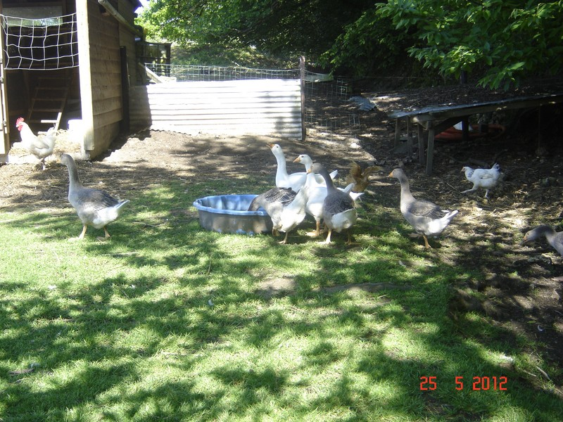 mes oies et canards mulards 029_co11