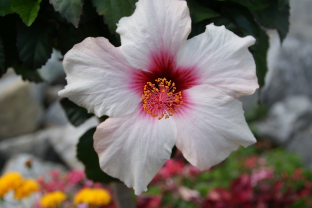 Hibiscus - Page 2 Dsc02611