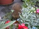 l'habitant nocturne de mon jardinet!!! Dscn6911