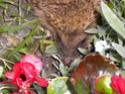 l'habitant nocturne de mon jardinet!!! Dscn6912