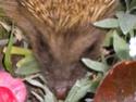 l'habitant nocturne de mon jardinet!!! Dscn6914