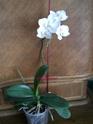 les orchidées défleuries.......... Dscn8314