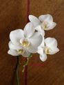 les orchidées défleuries.......... Dscn8315
