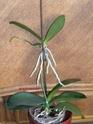 les orchidées défleuries.......... Dscn8316