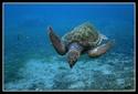 ecailles de tortues Tortue11