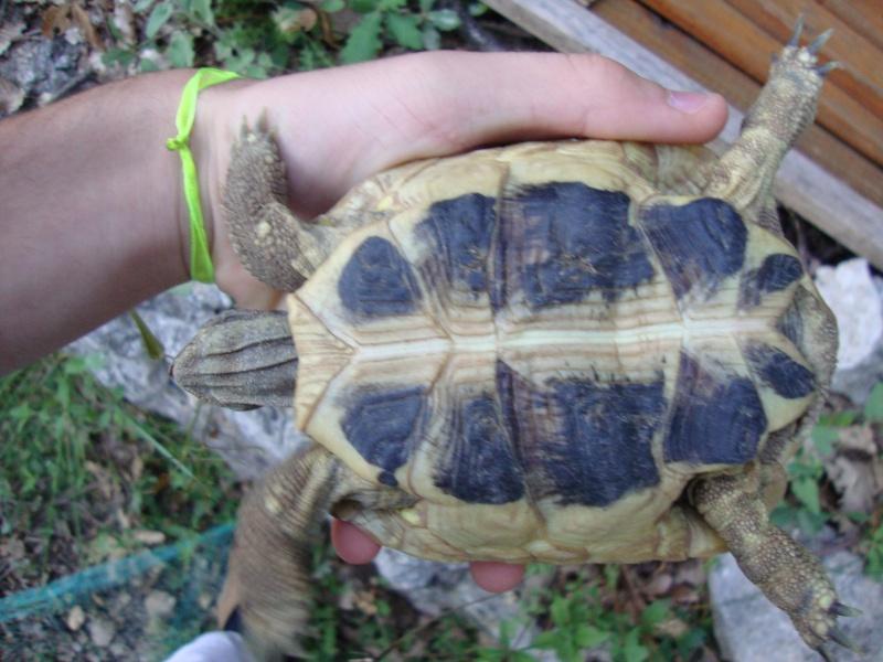 probleme sex tortue terrestre hermann Dsc01710