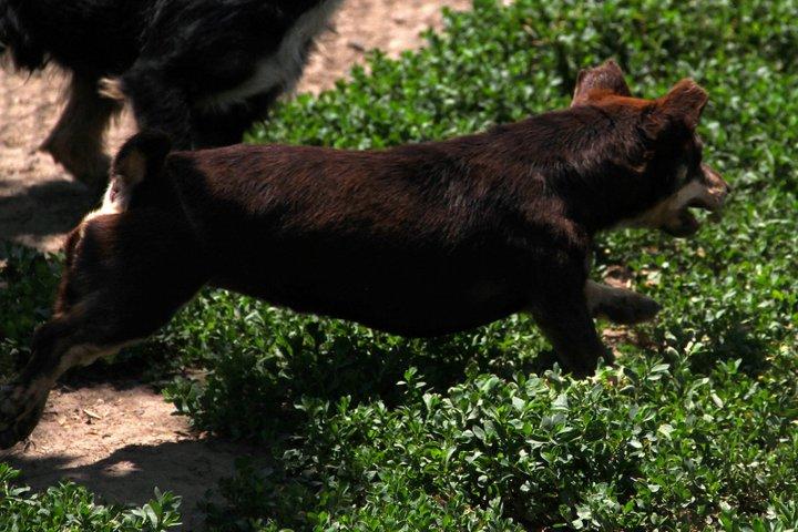 Poucette, femelle x pinscher de 19 mois, oreilles mutilées (Serbie) 27017210