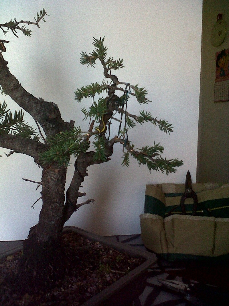 Spruce Yamadori from the Black Hills Spruce10