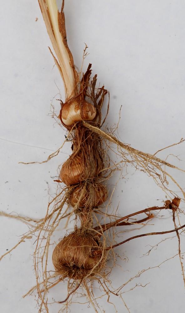Crocosmia masonorum Crocos10