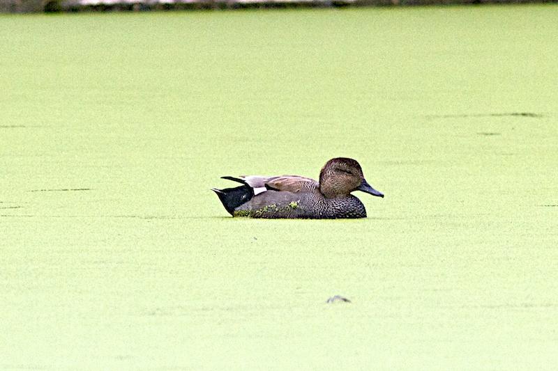 Etangs Mellaerts (petit étang) ce matin Can10
