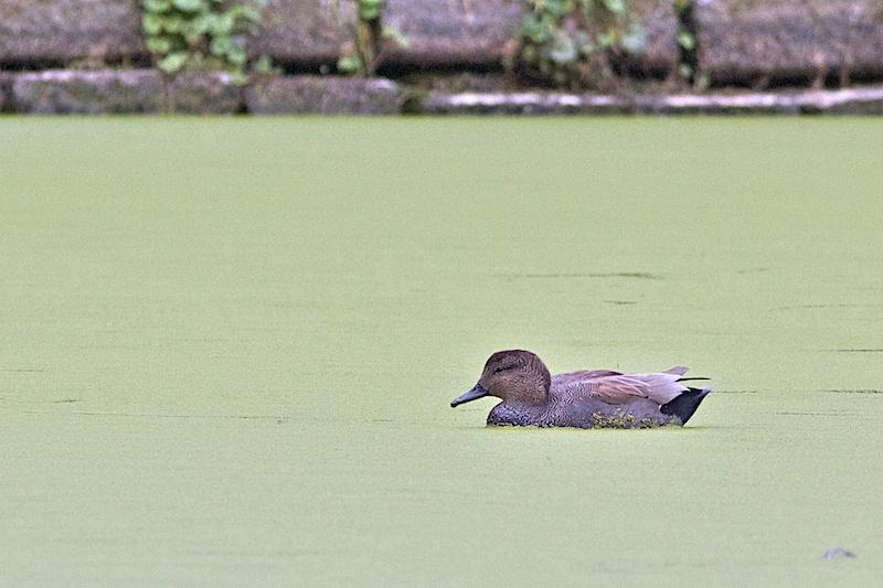 Etangs Mellaerts (petit étang) ce matin Can_110