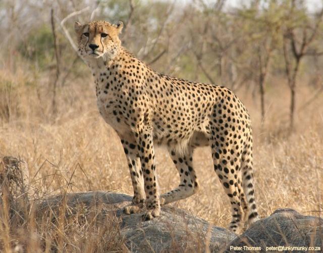 Animalele noastre Cheeta11