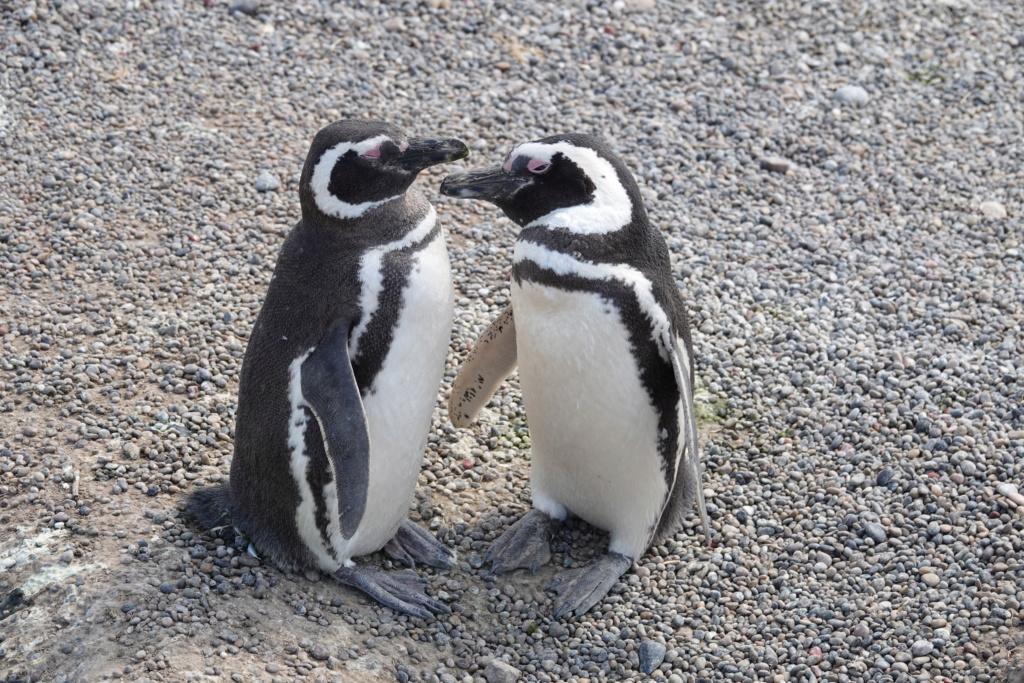PUNTA TOMBO ET SES PINGOUINS Dsc03014