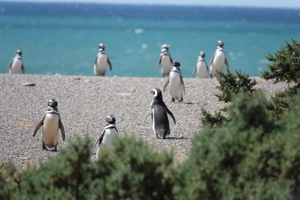 PUNTA TOMBO ET SES PINGOUINS Dsc03015
