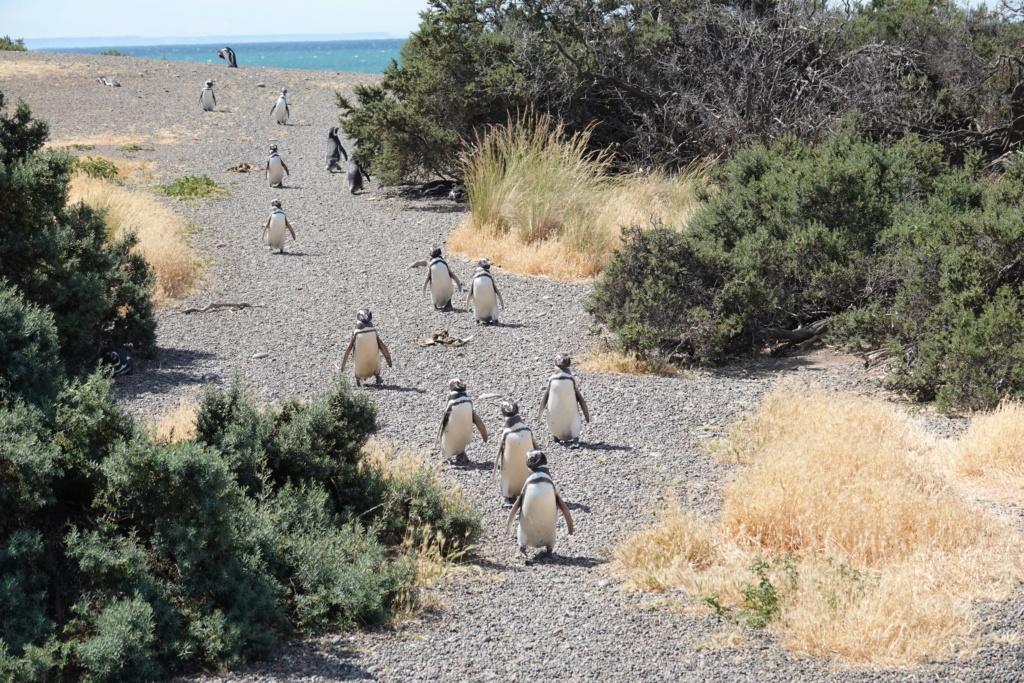 PUNTA TOMBO ET SES PINGOUINS Dsc03016
