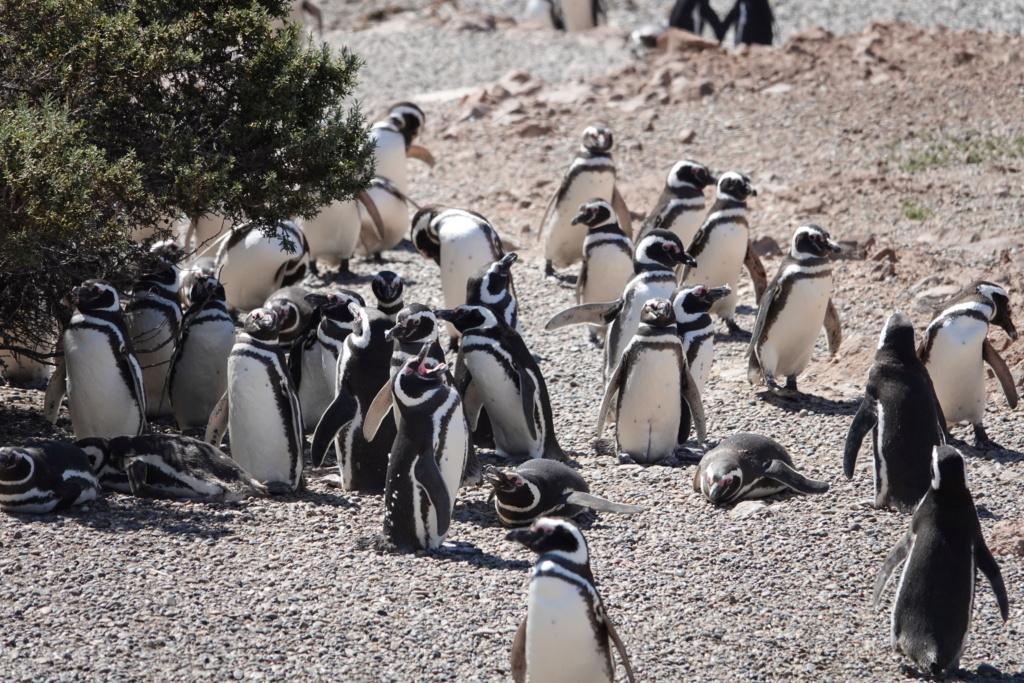 PUNTA TOMBO ET SES PINGOUINS Dsc03017