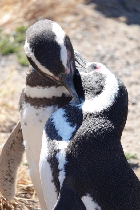 PUNTA TOMBO ET SES PINGOUINS Dsc03018