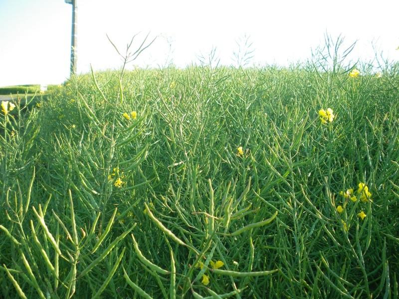 floraison du colza  00119