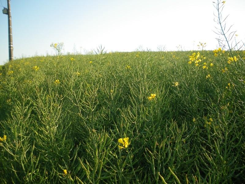 floraison du colza  00219