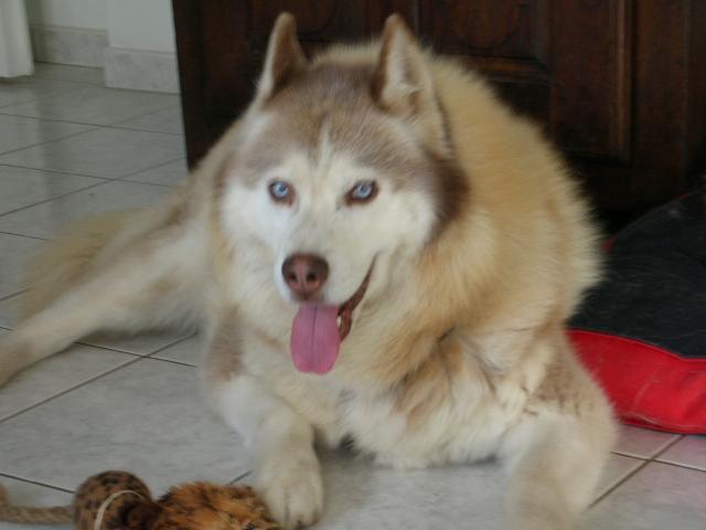 CHARLIE, superbe Husky roux, attend depuis trop longtemps: 10 ans REF51DECEDE - Page 4 Charli22
