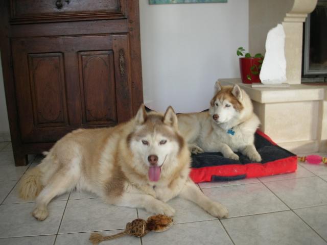 CHARLIE, superbe Husky roux, attend depuis trop longtemps: 10 ans REF51DECEDE - Page 4 Charli23